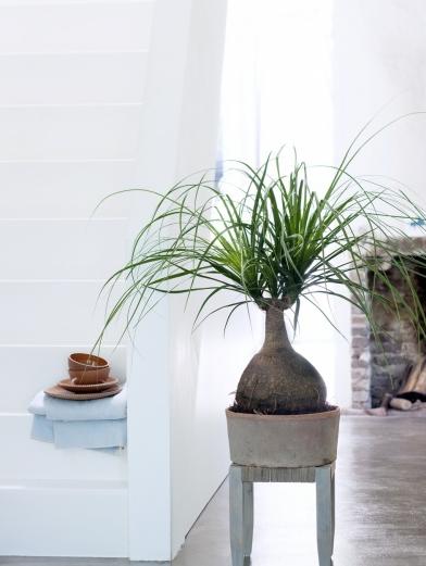 plantes totems - beaucarnea