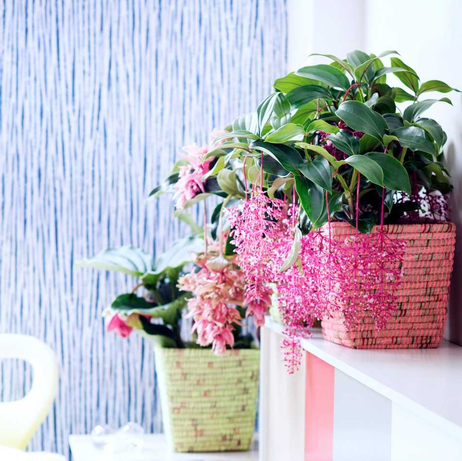 Medinilla plantes exotiques du mois de mai