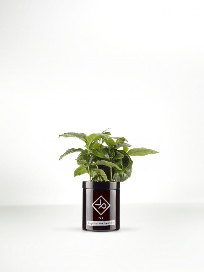 Pour la fête des pères : Le coffea Arabica en pot