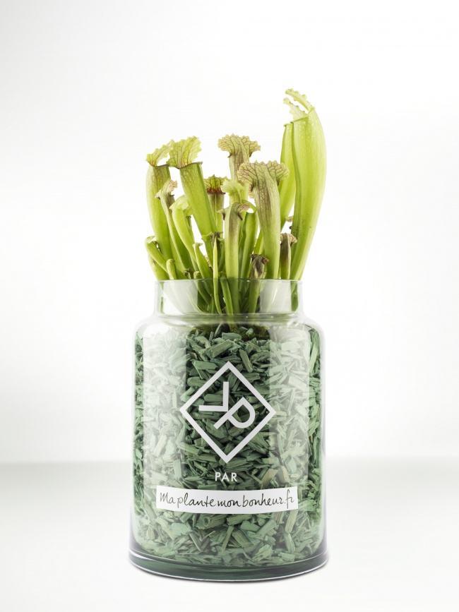 Pour la fête des pères : Le Sarracenia en pot