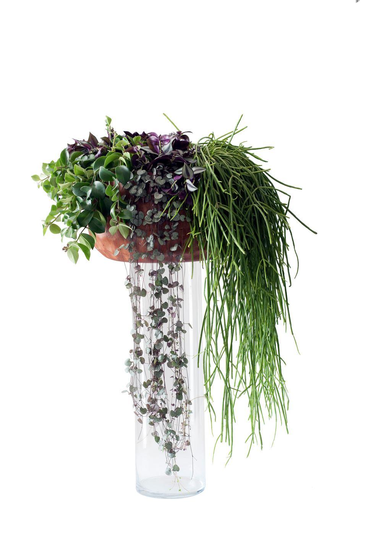 Plante retombante OHDF