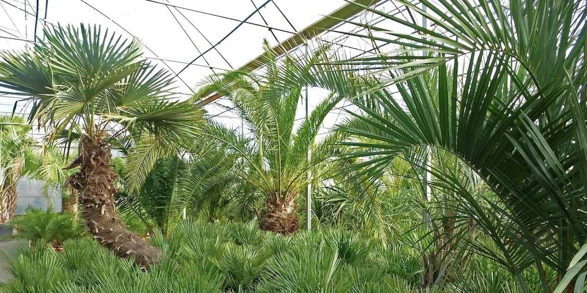 Les palmiers des pépinières ripaud