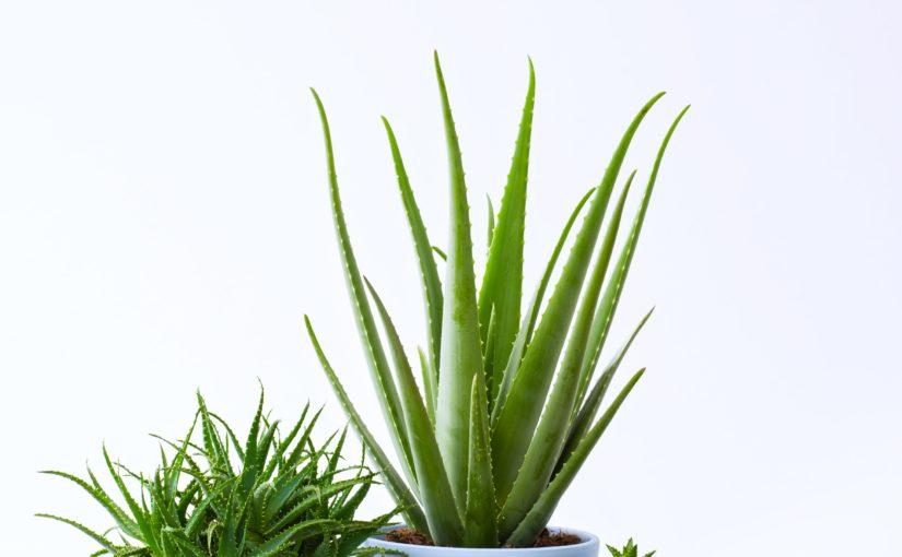 La plante du mois: l'Aloe Vera, esthétique et robuste
