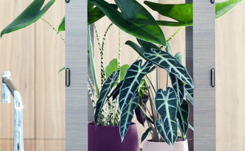 La plante du mois: L'Alocasia, protectrice et… «aux grands cœurs» !