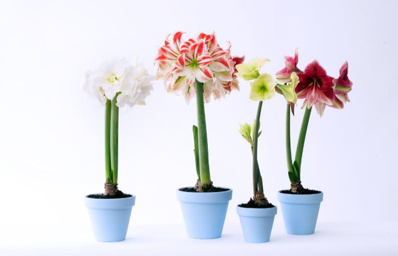 La plante du mois : l'amaryllis