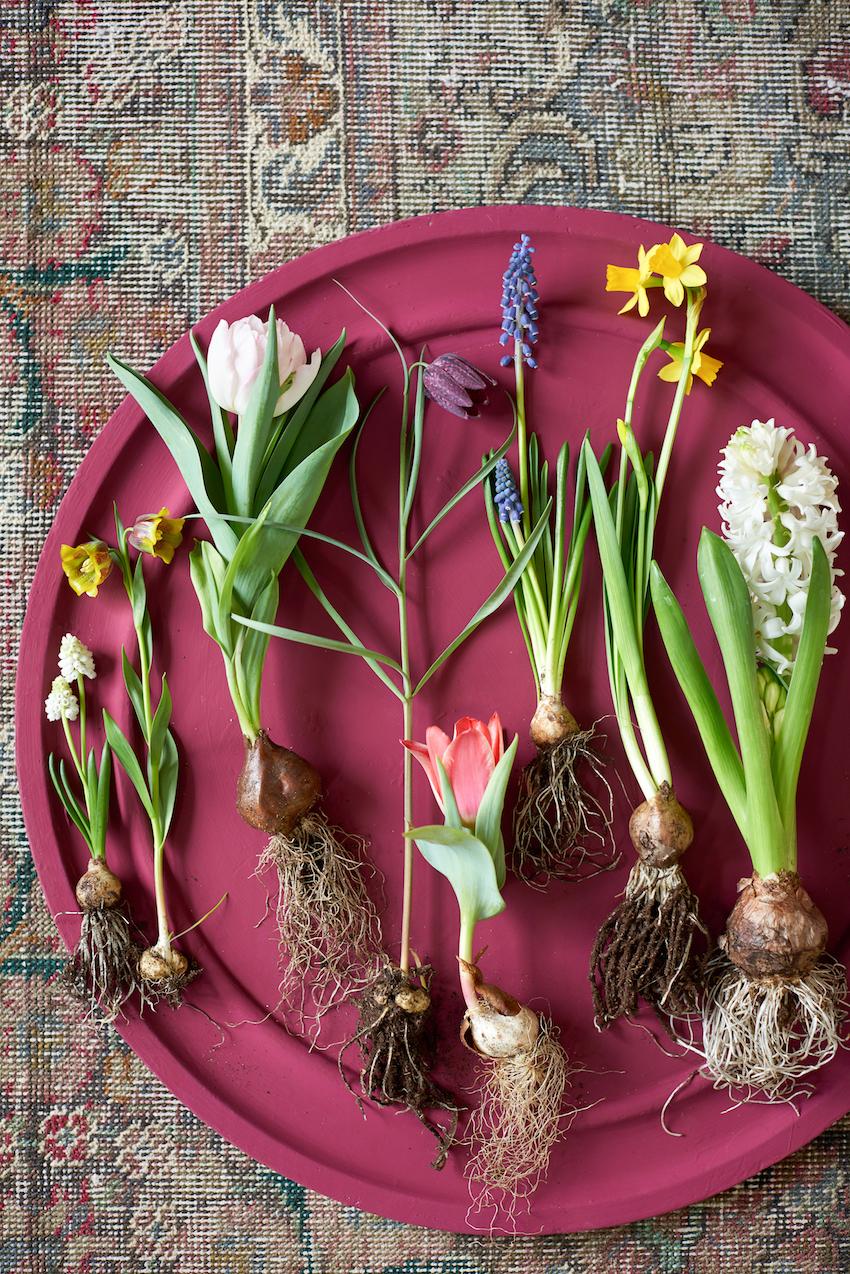 Variétés de bulbes de fleurs ; © MaPlanteMonBonheur.fr