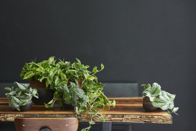 La plante du mois : Le scindapsus, plante tropicale d'intérieur