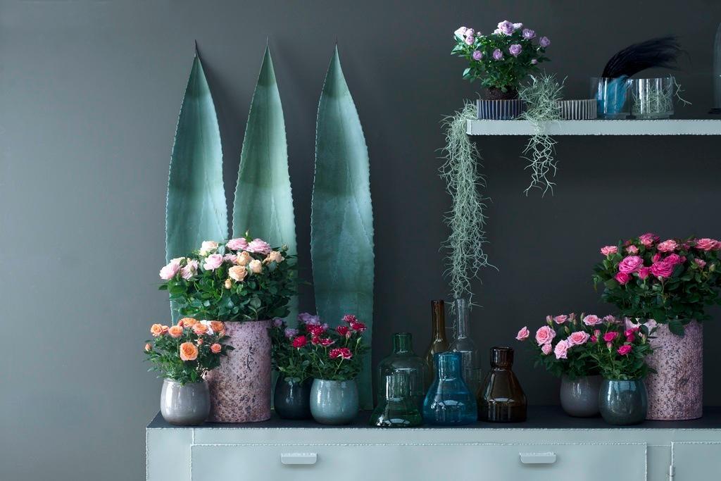 Rosiers en pots, l'Office Hollandais des Fleurs