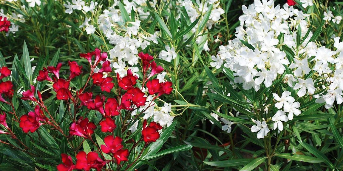 Pépinières Ripaud et les fleurs colorées