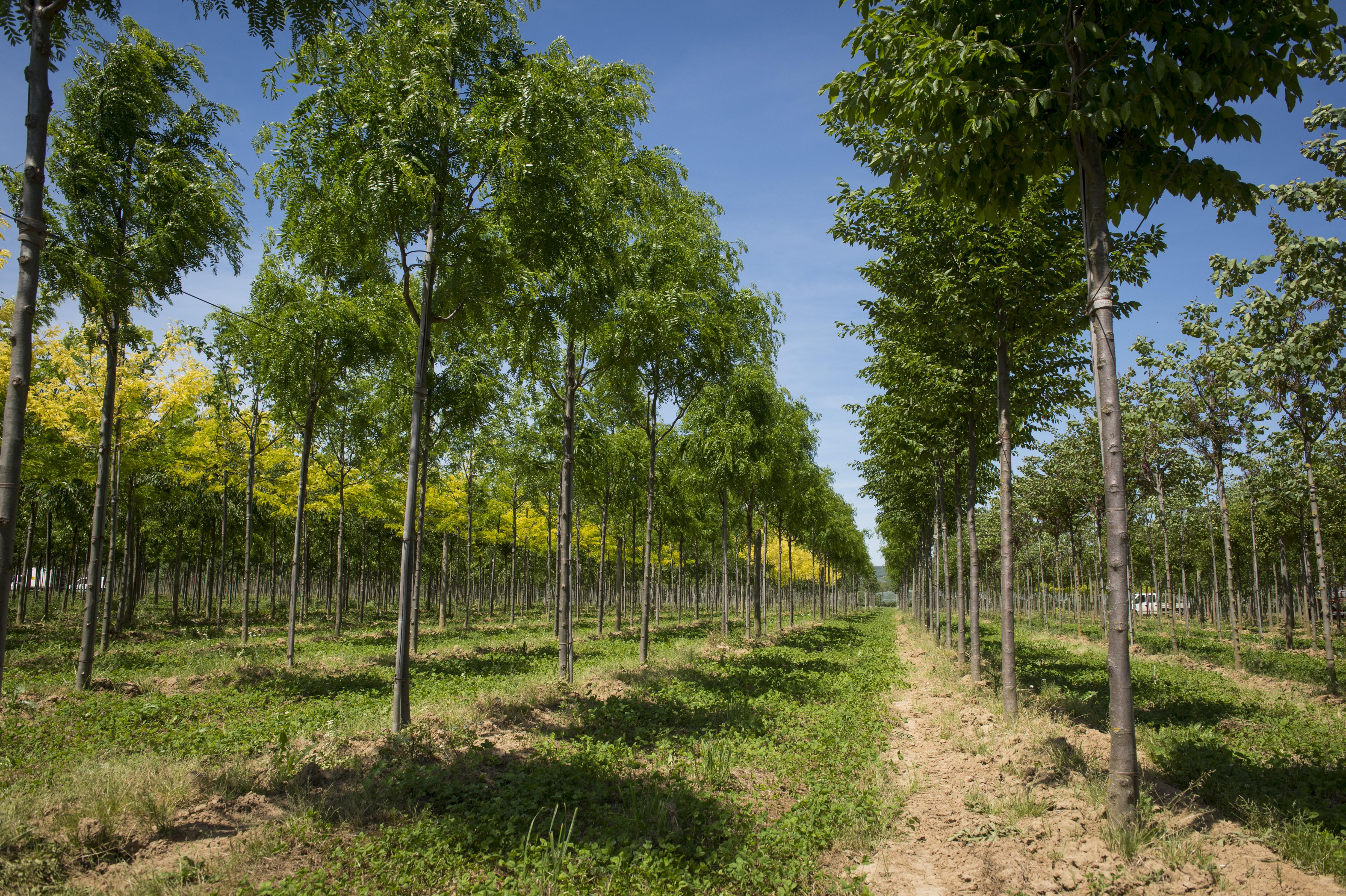 Pépinières Guillot-Bourne II; plantation d'arbres destinés à être transplantés