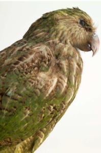 Kakapo Strigops habroptilus, Océanie photographie Pierre-Olivier Deschamps, Agence VU'